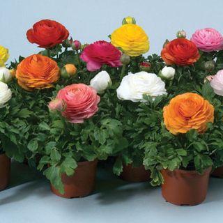 Цветы ранункулюс купить оптом где купить оптом цветы в воронеже
